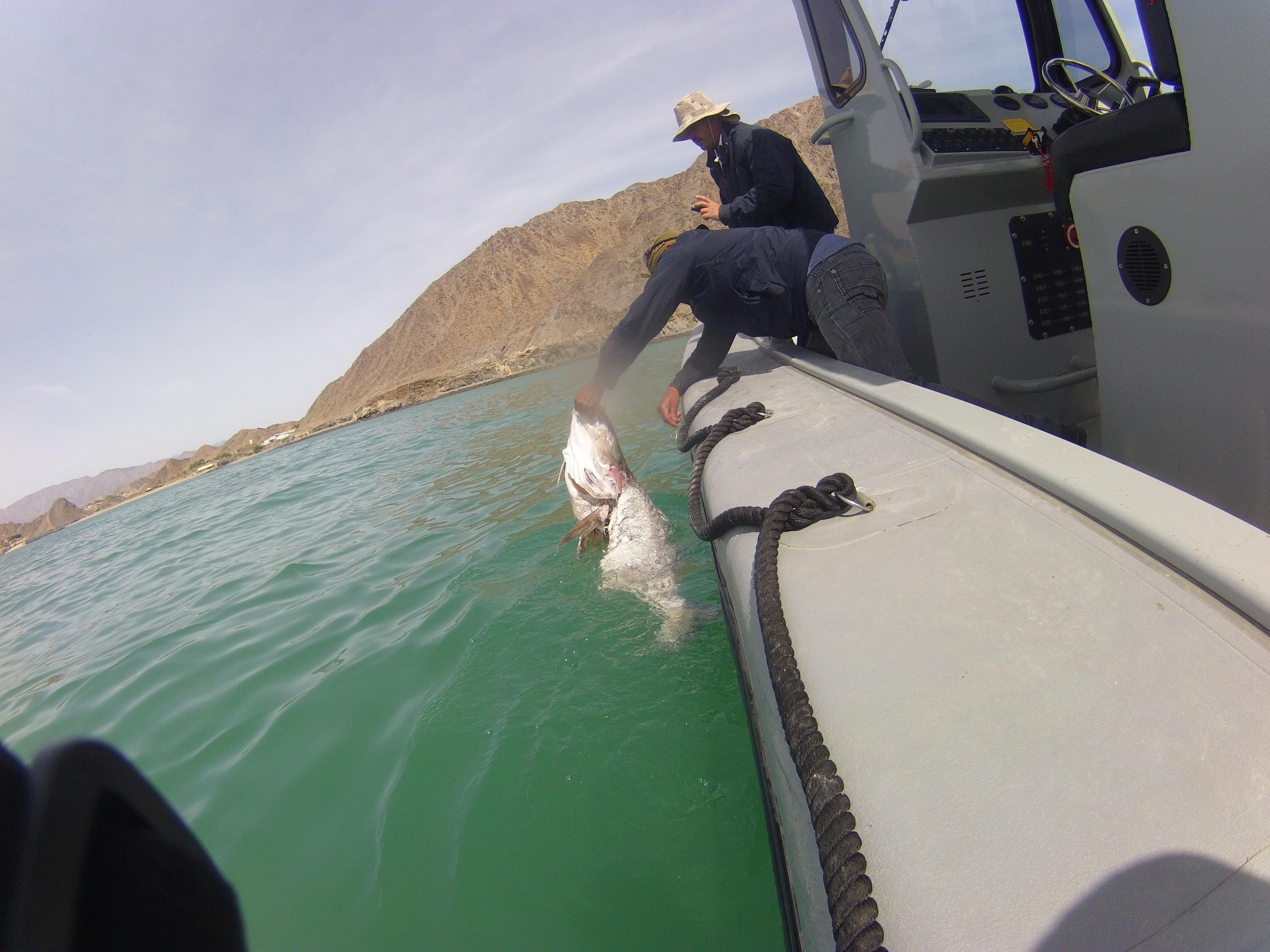 Totoaba sin buche es recuperada por inspector de la Profepa en San Felipe Baja California luego de que pescadores la lanzaran al percatarse del operativo. Crédito: Naguales